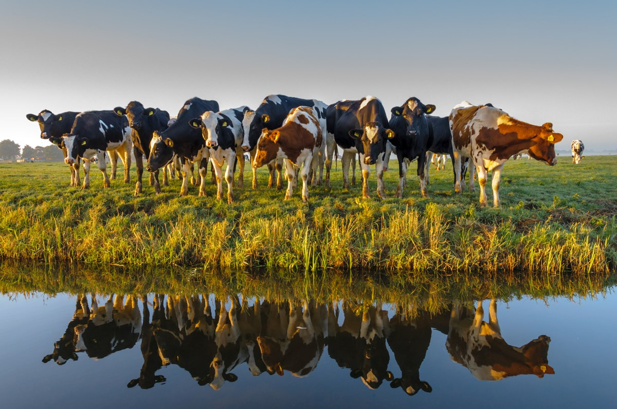 AQM Website Case Study - Image of cows in a field